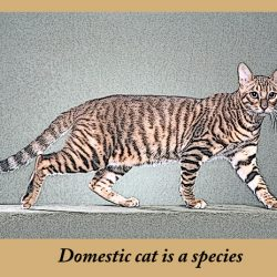 Domestic cat is a species