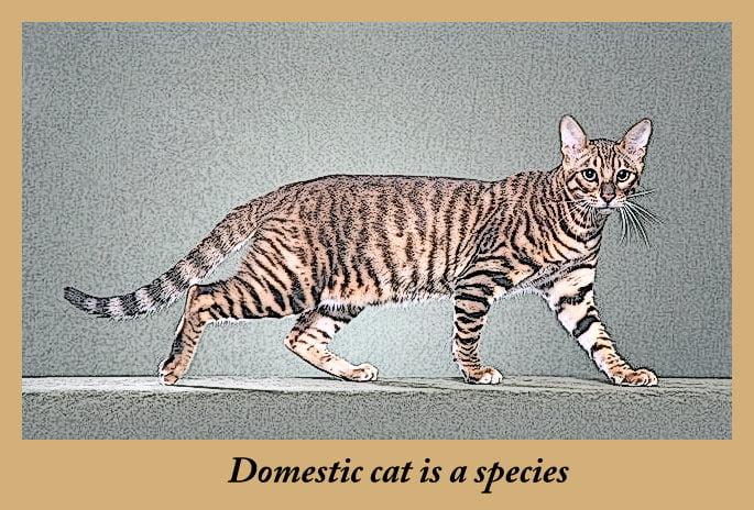 Domestic cat is a species