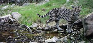 Ocelot in Sonora just south of Arizona