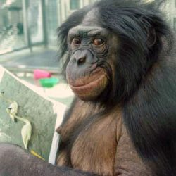 Panbanisha a bonobo who learned to communicate with language