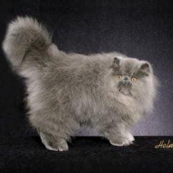 Modern Persian cat