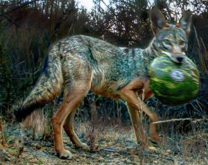 Coyote photographed by a camera trap in California, USA
