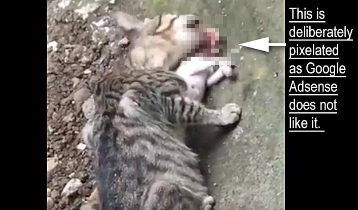 Adult cat eats kitten head first