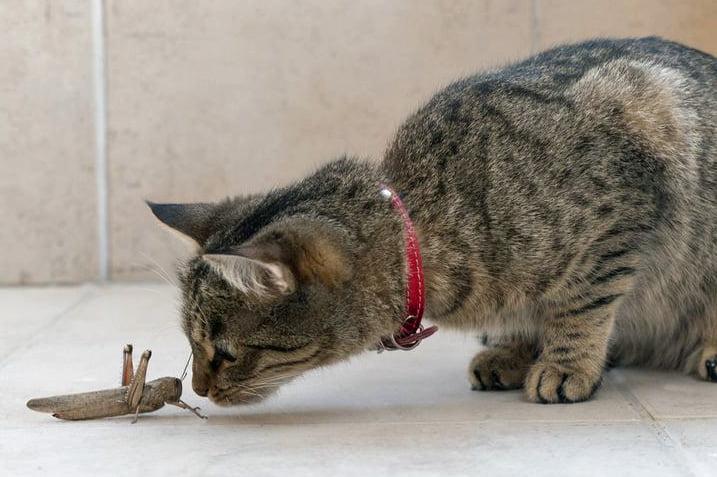 Cat and grasshopper