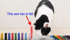 Cats and dominoes video is mesmerising