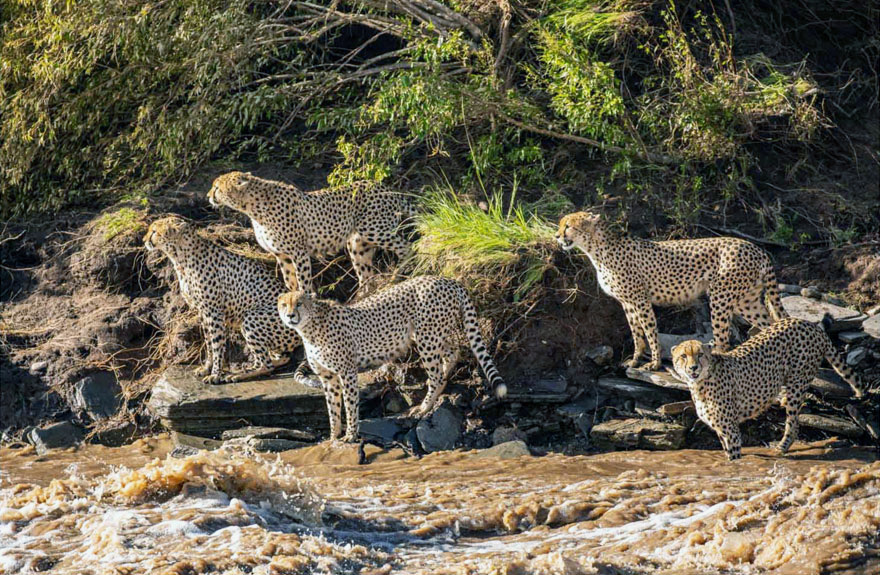 Cheetah brothers contemplate crossing swollen river
