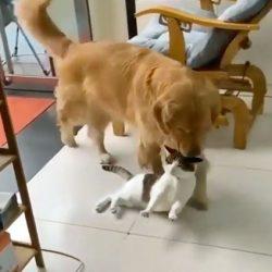 Dog carries cat by scruff