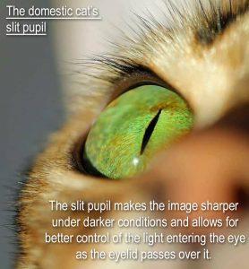 Domestic cat slit pupil
