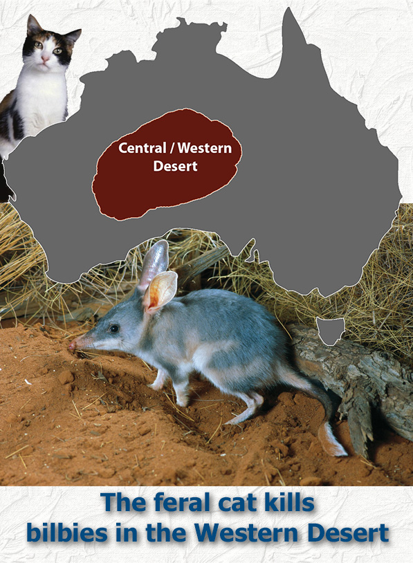Feral cat kills bilbies in Western Desert of Australia