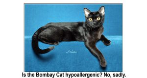 Is the Bombay Cat hypoallergenic?