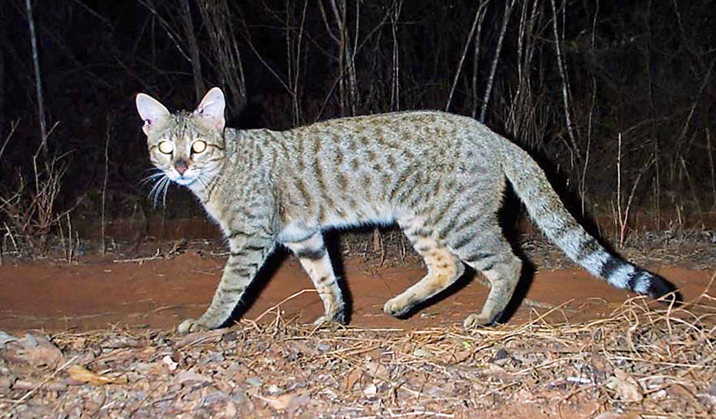 Madagascar forest cat