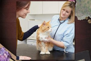 Maine Coon at vet