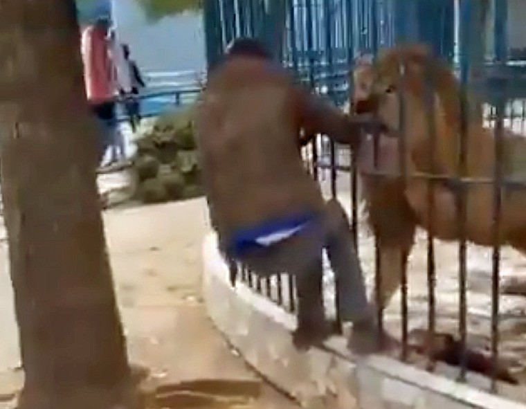 Man's hand in lion's jaws at zoo
