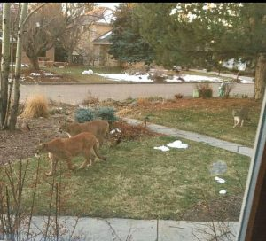Moutain lions roaming American suburbia during coronavirus lockdown