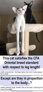 Oriental breed standard satisfied for this cat regarding leg length. Photo: Pinterest. Words added.