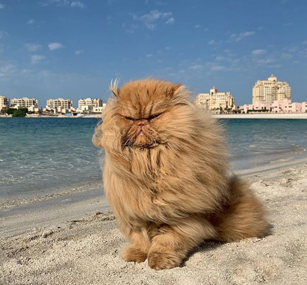 Picture of Persian cat on the beach