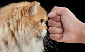 Punch face Persian cat