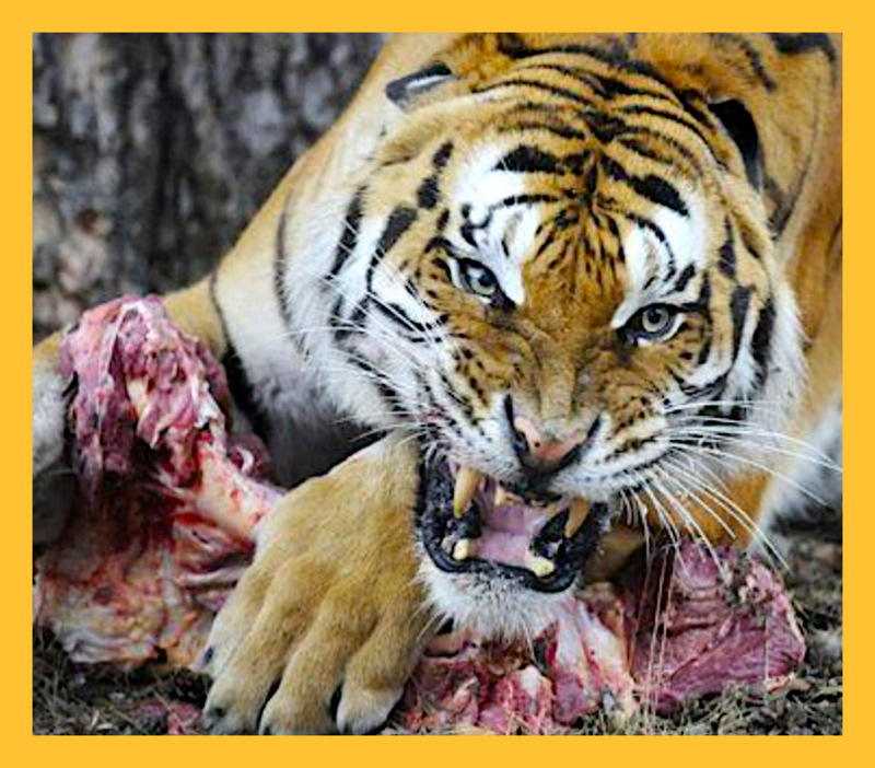 How much does a tiger eat in a day?