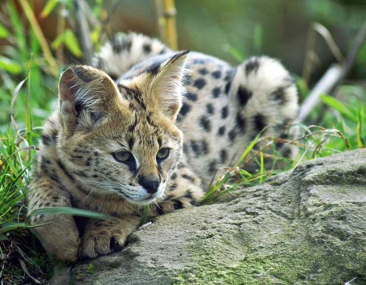 Servals are solitary