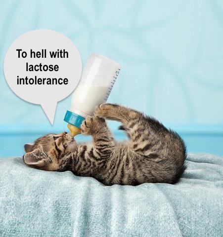 Cats are lactose intolerant