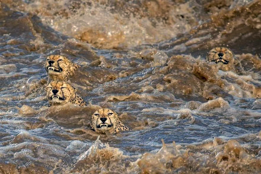 Four grimacing cheetah brothers cross a swollen river in the Masai Mara.