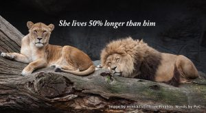 Lionness and lion. They have very big differences in longevity in the wild