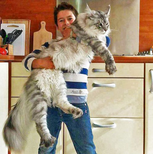 Another very large Maine Coon