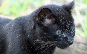 Black Geoffroy's cat