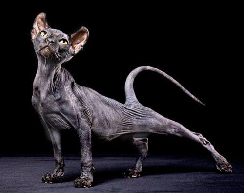 Black Sphynx cat