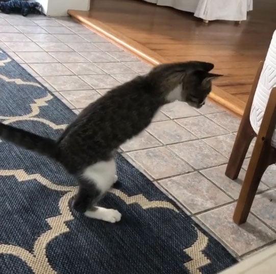 Cat runs like an ostrich