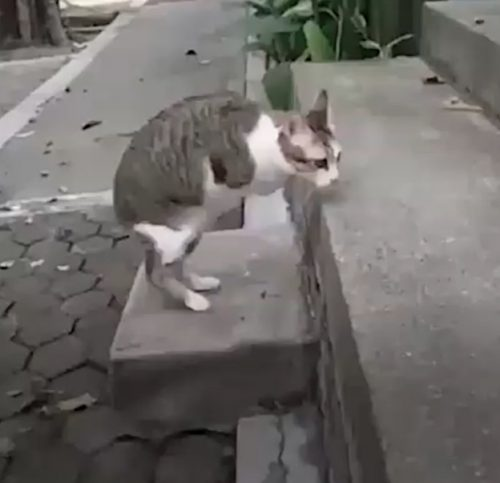 Cat walking on two hind legs