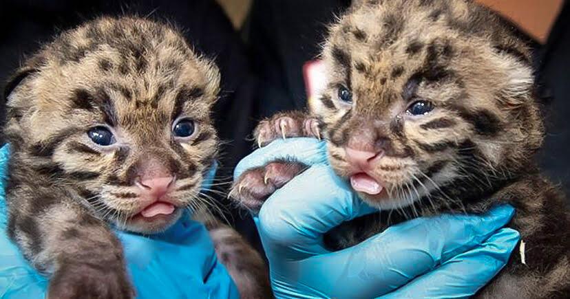 Clouded leopard kittens