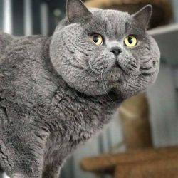Extreme bred blue british Shorthair probably Russian bred