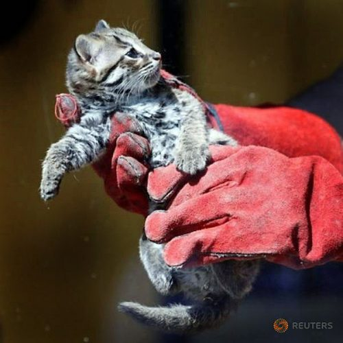 Picture of tiny leopard cat in thick gloves