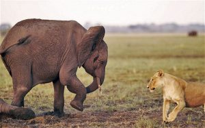 Lion eyes up young elephant