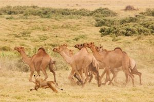 Lion hunts camels