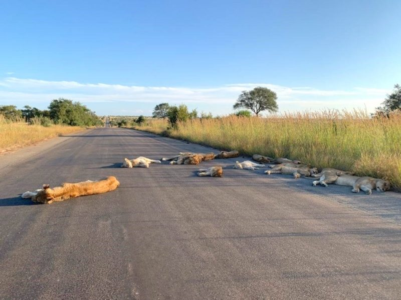 Lions including 2 white lions, asleep on the road in Kruger NP.