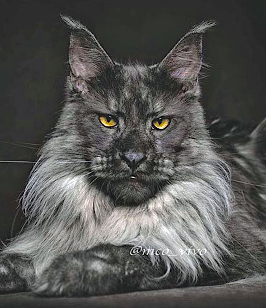 Maine Coon that looks like a lion