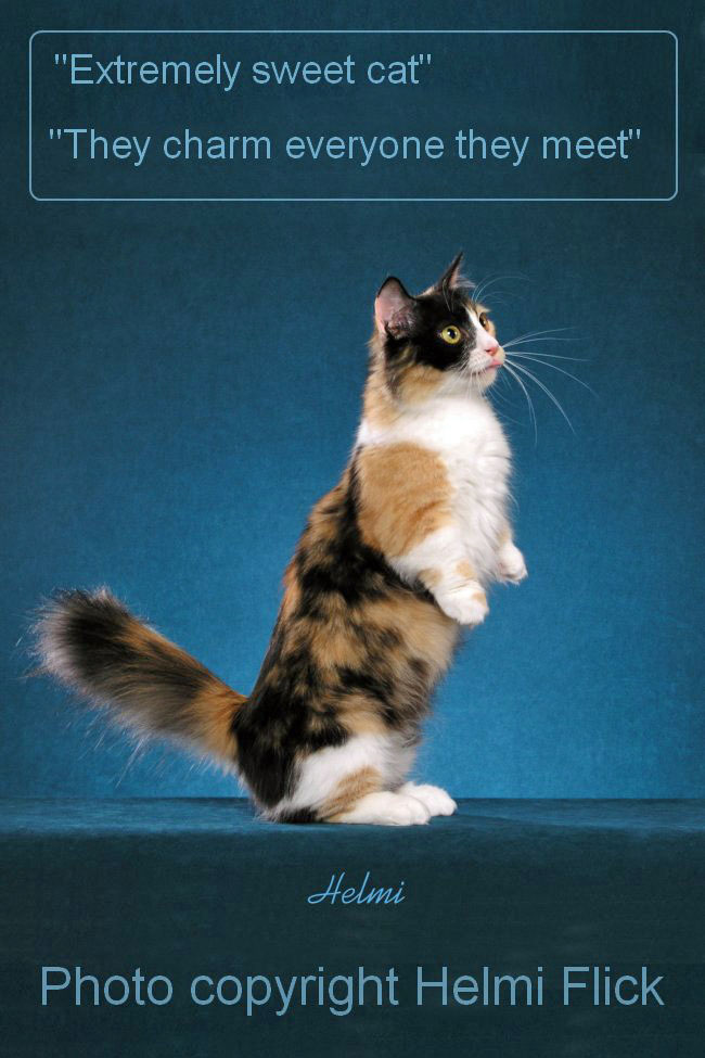 Munchkin cat Galadrial sitting up for fish flakes