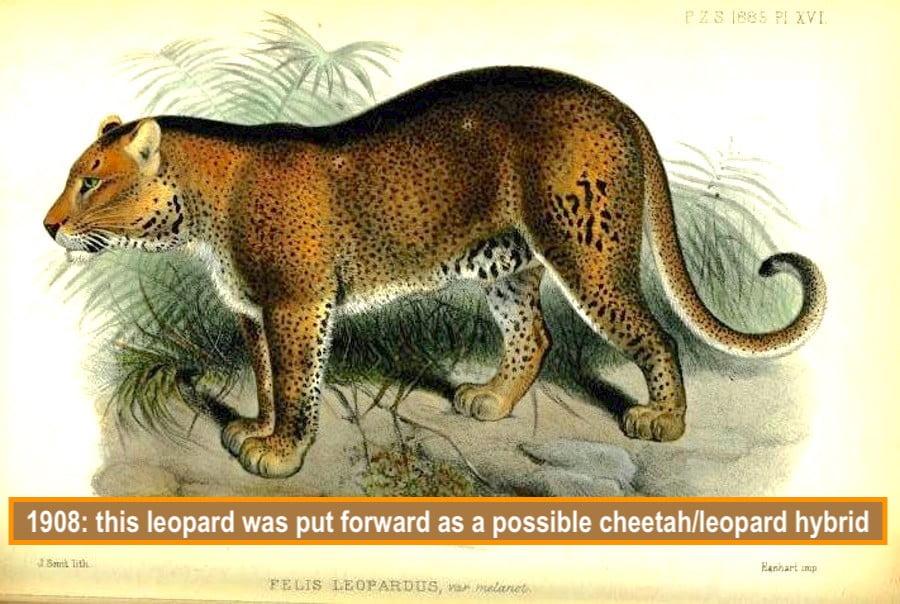 Posited as a leopard cheetah hybrid