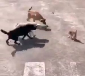 Small cat stands up to 3 dogs who want to attack