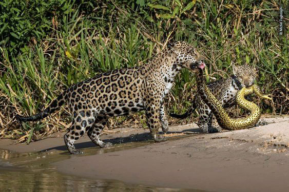 Snake eating jaguar