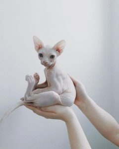Sphynx cats can have oily skin which smells unless bathed regularly