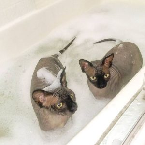 Sphynx cats in bath