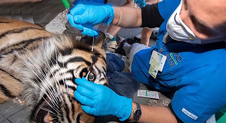 Taking mouth and nose swabs from tigers at Miami Zoo to test for Covid-19