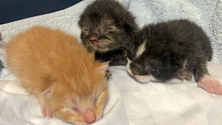 Three kittens rescued from trash