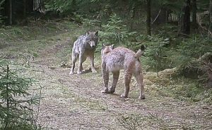 Wolf encounters Eurasian lynx in Belarus