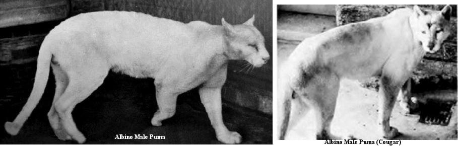 Albino puma