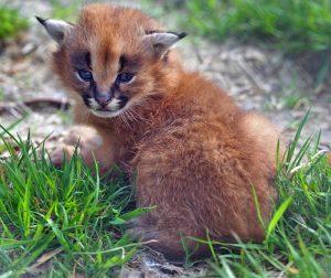 Caracal kitten