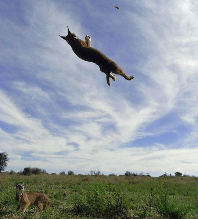 Caracal leaping to catch a bird in flight